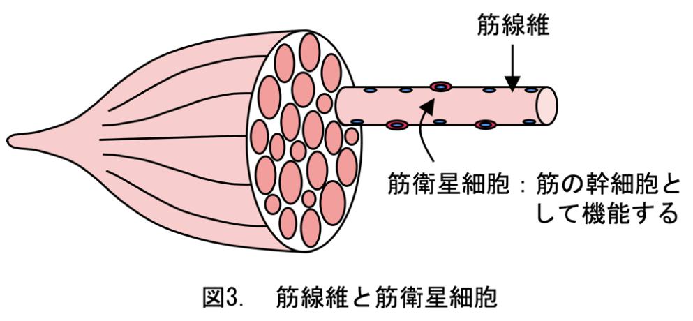 筋繊維とサテライト細胞のイラスト